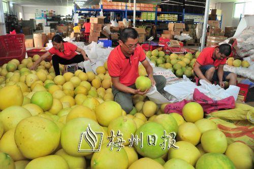 梅州金柚通过电商进一步打开销路拓展市场。